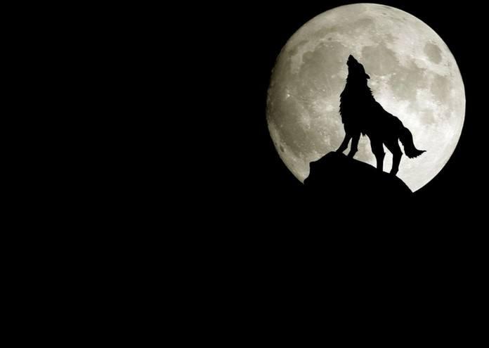 被咬断后腿的狼